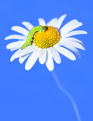 daisywheel blue tone