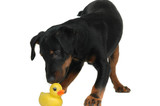 doggy playing with duck poster