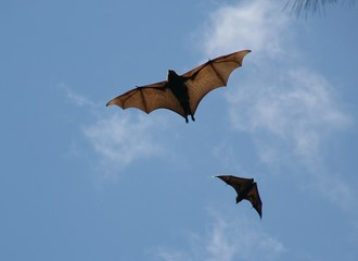 fruit bat 1.