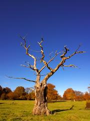 skeletal tree in the autumn