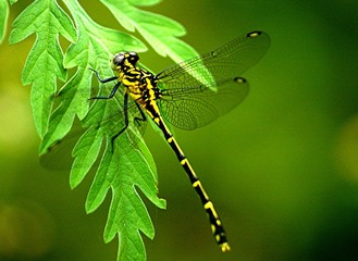 black and yellow dragonfly 5.