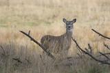 an alert deer. poster