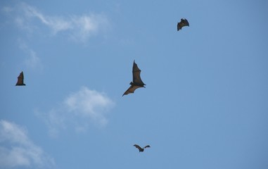 fruit bats 60.