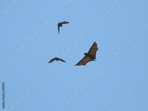fruit bats 53.