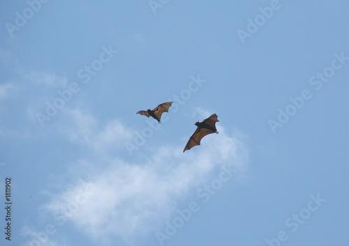 fruit bats 56.