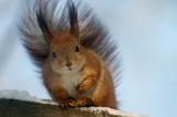 comic squirrel poster