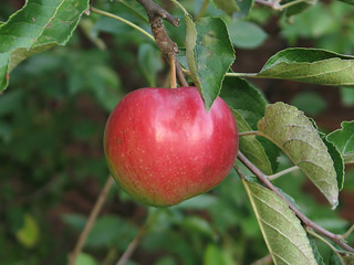 apple on tree in orchard