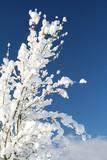 Fototapety snowy shrub