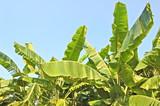 banana grove poster