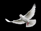 white dove in flight 6 - Fine Art prints