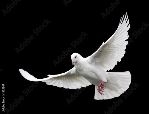 Leinwanddruck Bild white dove in flight 6