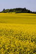 yellow rape fields
