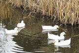 five white ducks in small stream poster