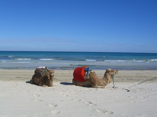 couple of camel, wüstentier