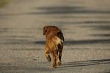 golden retriever paseando por la carretera poster