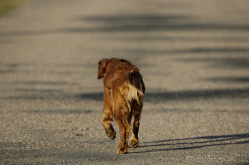 golden retriever paseando por la carretera