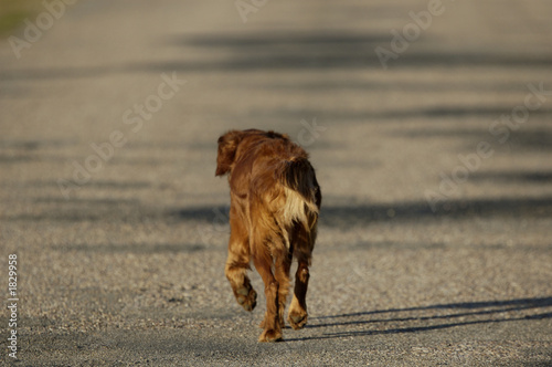 poster of golden retriever paseando por la carretera
