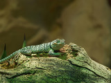 beaded lizard (heloderma horridum) poster