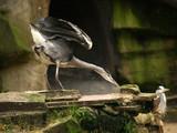 charging heron poster