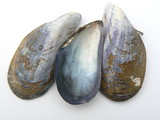 mussel shells poster