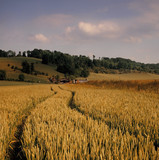 view across cornfield agricultural landscape poster