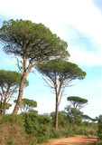 pins parasol en provence poster