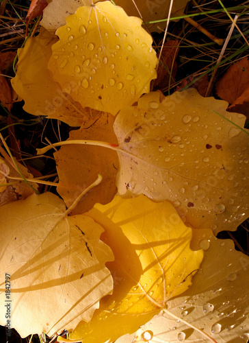 leafs of aspen, background