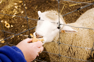 lamb eating