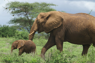 african elephant with calve