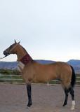 turkmen national horse of akhal-teke breed poster
