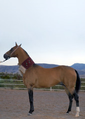 turkmen national horse of akhal-teke breed