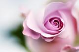 Delikatna róża - 1859100