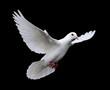 Leinwanddruck Bild white dove in flight 7