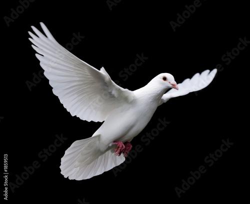 biała gołębica w locie 7
