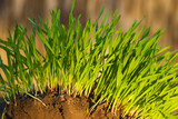 new green grass growing poster
