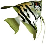 angelfish scalare