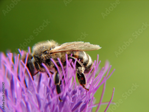 bee on pink flower macro