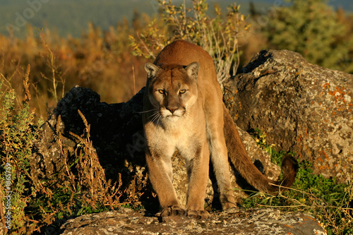 Poster Puma mountain dweller