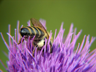bee on purple flower with polen on leg
