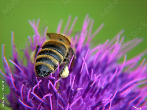 bee on purple flower with pollen on leg