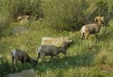 big horn sheep grazing. poster