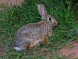a wild rabbit poster