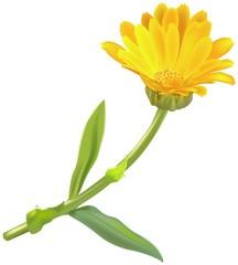 marigold (calendula oficinalis) 1