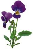 violet (viola odorata) poster
