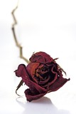 withered red rose poster