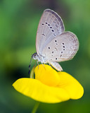 grey butterfly on yellow flower