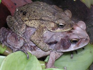 frogs copulating