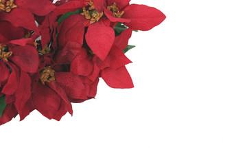 red pointsettias