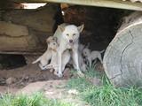 dingo pups feeding poster