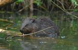 europan beaver(castor fiber) poster